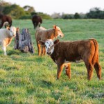 Hereford Charolais Cross Calves