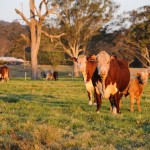 Hereford Herd